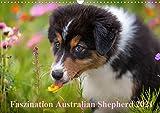 Australian Shepherd 2021 (Wandkalender 2021 DIN A3 quer)