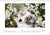 Herzensaussies - Australian Shepherd (Wandkalender 2021 DIN A4 quer)