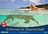 Schweine im Dauerurlaub auf den Bahamas! (Wandkalender 2022 DIN A2 quer)