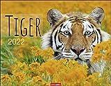 Tiger Kalender 2022 - Tierkalender - Wandkalender mit internationalem Monatskalendarium - 12 Farbfotos - 44 x 34 cm