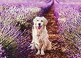 Edition Seidel Golden Retriever Premium Kalender 2021 DIN A3 Wandkalender Hundekalender Hunde