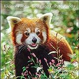 Kleiner Panda Red Panda 2021 - Broschürenkalender - Wandkalender - mit herausnehmbarem Poster - Format 30 x 30 cm