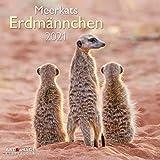 Erdmännchen 2021 - Wand-Kalender - Broschüren-Kalender - A&I - 30x30 - 30x60 geöffnet: Meerkats