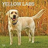 Yellow Labrador Retrievers - Weiße Labradore 2021- 16-Monatskalender mit freier DogDays-App: Original BrownTrout-Kalender [Mehrsprachig] [Kalender] (Wall-Kalender)